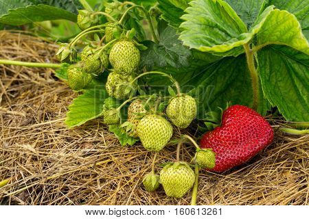 Ripe and unripe strawberries growing on the ground