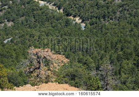 Pine tree forest at Troodos mountains in Cyprus