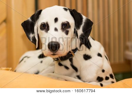 Young dalmatian puppy lying on the pillow