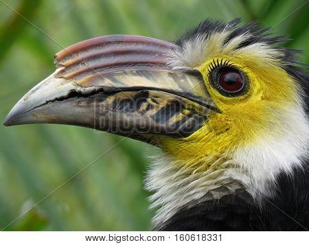 Rain forest colorful Sulawesi Horn bill Portrait