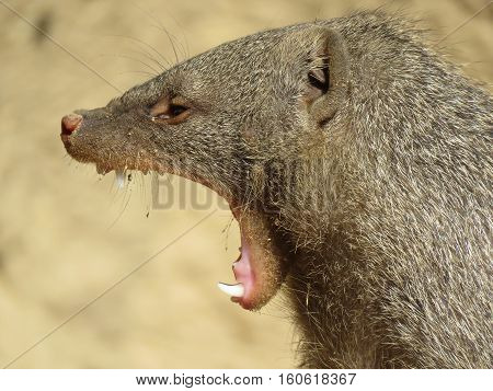 close up of a yawing banded mongoose