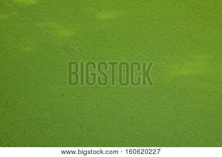 Green duckweed on background of freshwater pond