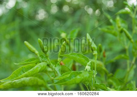 Selective focus on Green Bird Chilli or Thai pepper