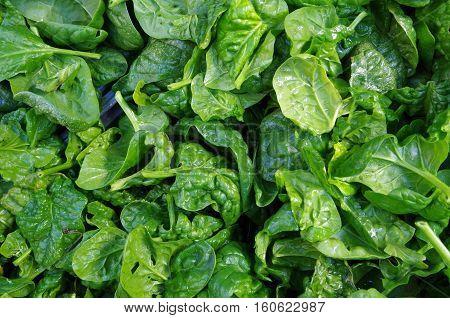 Bright green fresh cut spinach leaves piled closeup view