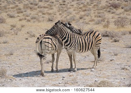 Two Burchell's zebras hugging each other in Etosha National Park, Namibia