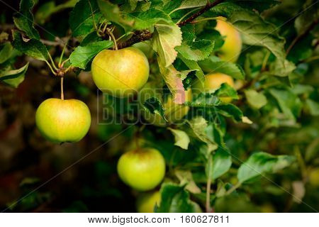 'Sunset' Apples - Malus domestica growing in an orchard in Scotland.