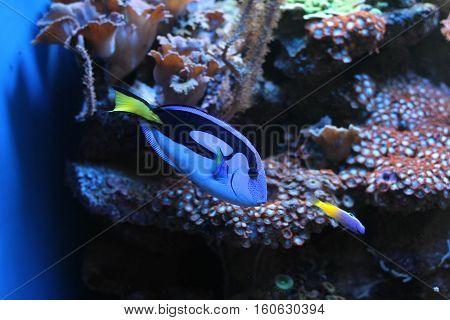 Aquarium / Decorative Fish In Saltwater Aquarium