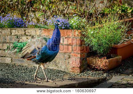 A peacock walking in a market garden in autumn sunlight.
