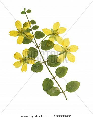 Pressed and dried flowers of loosestrife meadow or tea with green leaves on creeping stem. Isolated on white background. For use in scrapbooking floristry (oshibana) or herbarium.
