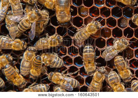 Working bees on honeycomb, honey, many bees