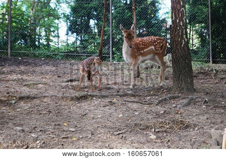 The female deer with a small fawn walking in a pen near a tree