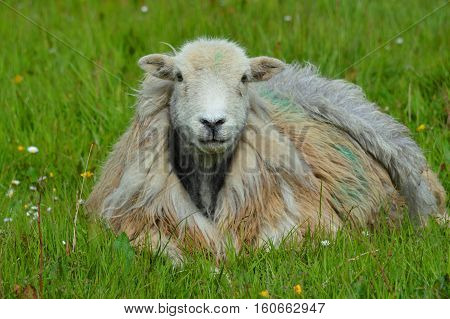 Sheep in the Field in the summer