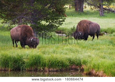 Bison in Yellowstone National Park grazing in the tall grass