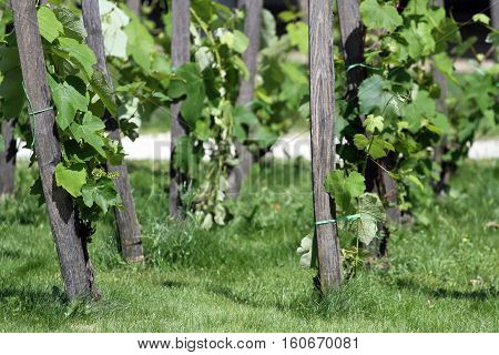 Sunny Summer Vineyard As A Background