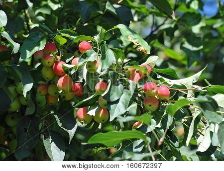 Malus prunifolia tree with apple on branch