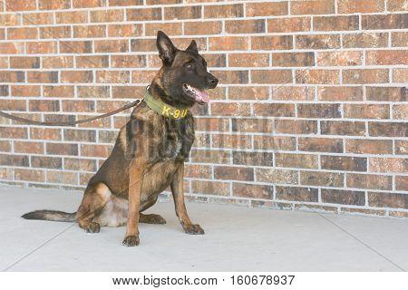 Belgian Malinois police dog sitting next to a brick wall