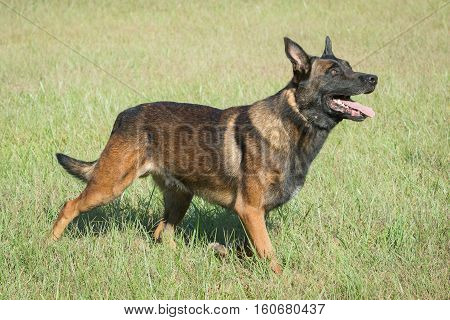 Belgian Malinois police dog looking up while standing in a field