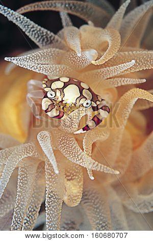 Harlequin Crab, Lissocarcinus orbicularis, Vertical