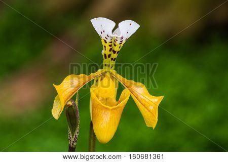 Lady slipper orchid orchidaceae Paphiopedilum villosum of Thailand(Gratrixianum Guillaumin) poster