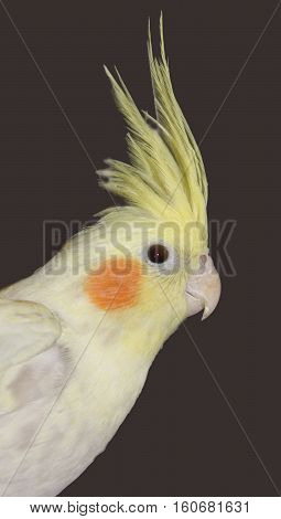 A bright yellow Cockatiel with a marvelous up erect crest.
