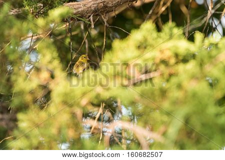 Goldfinch perched on limbs in a cedar tree