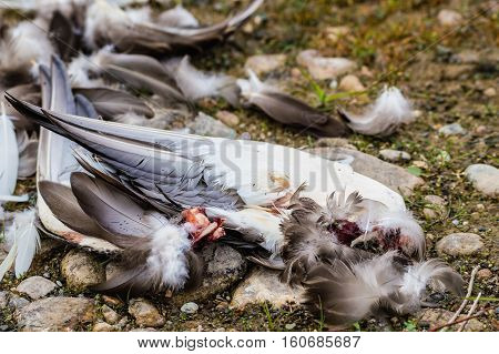 Wing parts and feathers of a duck that has been killed