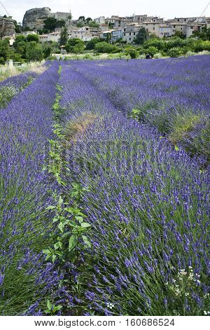 lavender flowers blooming in fields under traditional french hilltown in provence france