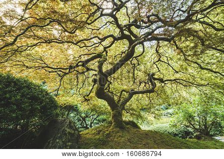 Japanese Maple tree in beautiful garden or park setting. Portland Japanese Garden, Portland, Oregon, USA.