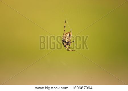 Large Orb Weaver spider on web with green grass background.