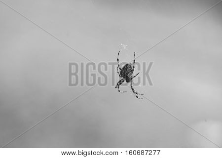 Black and white photo of large Orb Weaver Spider.