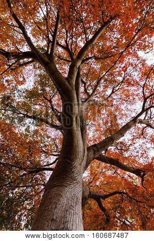 Fall colours of a maple tree in Berkeley California