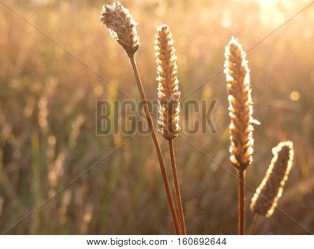 Sunlight through wheat rye grass in an Australian summer field