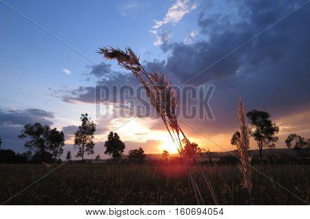 Sunlight through wheat rye grass in an Australian summer field