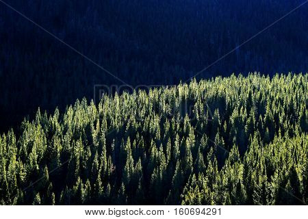 Forest of green pine trees on mountainside with sunlight