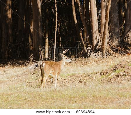 Blacktail buck at edge of Eucalyptus forest in California