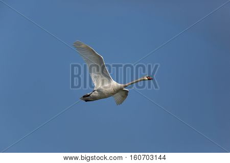 Mute swan (Cygnus olor) during flight with blue background