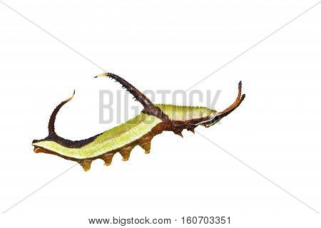 Isolated 5Th Instar Caterpillar Of Common Map (cyrestis Thyodamas ) Butterfly On White