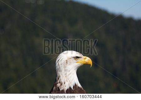 Mugshot of a Bald Eagle taken at Grouse Mountain, Vancouver (BC, Canada)