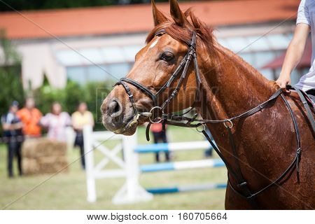 dressage horse. Close up, riding brown horse