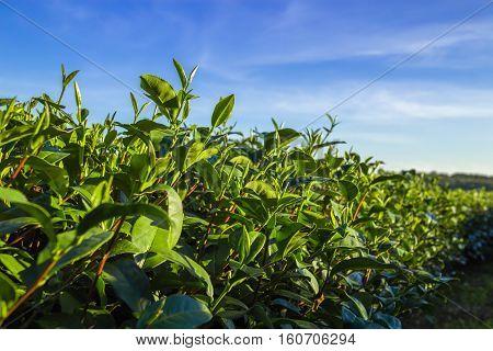 Lanscape of Tea plantation, tea field, tea farm