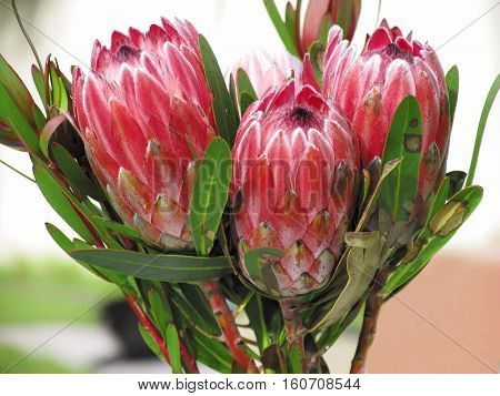 Proteas, Found mainly In The Western Cape, South Africa 12mnb