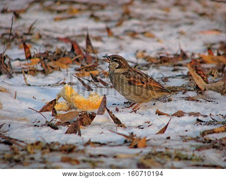 hungry sparrow with a piece of bread in winter on snow closeup