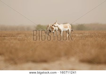 wild ass in the desert little rann of kutch, males fight, mating time, little rann of kutch, nature habitat, indian gujarat, indian wildlife, very rare species