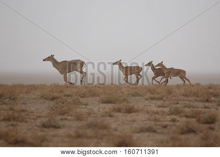 nilgai antelope in the desert little rann of kutch, mating time, little rann of kutch, nature habitat, indian gujarat, indian wildlife, very rare species