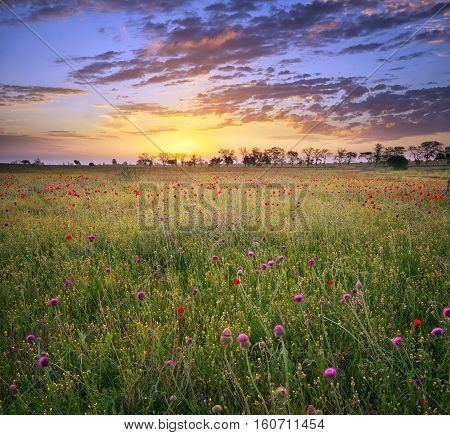 Poppy field. Meadow with blossoming flowers. Nature landscape composition