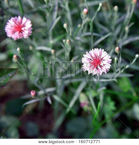 rose color cornflower on a background of grass and other cornflowers