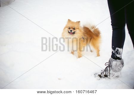 Walking Your Pet, Dog Breeds Spitz. Walk With The Dog On A Leash Outdoors On Winter Snow