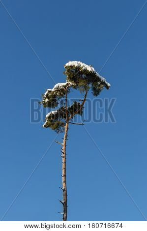 One isolated natural tree stems with snow and blue sky