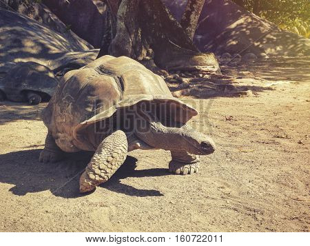 Large turtles in the Seychelles, the island of La Digue in park La Vanilla Reserve