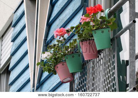 Balcony Plants / Geranium in decorative pails